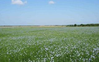 Льняное поле - Белорусский лен